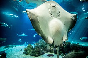 Stingray in Aquarium