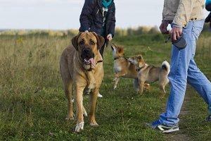 Spanish Mastiff and Shibu Inu for a walk
