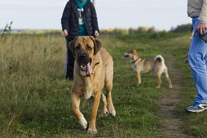 Spanish Mastiff and Shibu Inu for a walk