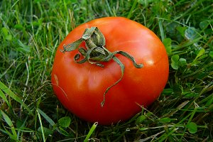 Ripe tomato on green grass