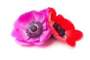 Anemone flowers isolated on white