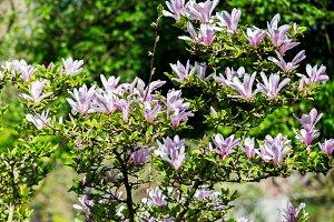 Beautiful Light Pink Magnolia Tree
