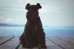 black schnauzer dog with the coast in the background