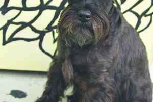 black schnauzer dog with graffiti on the wall