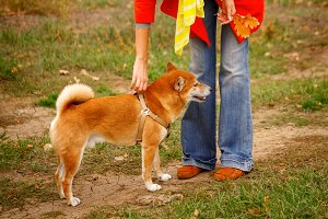 Girl walking with a dog Shiba Inu