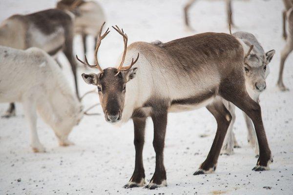 group of reindeers in winter