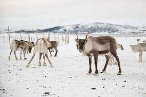 group of reindeers in winter