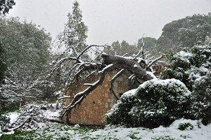 Fallen Tree Snow Storm
