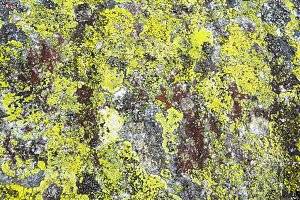 lichen on stone natural background