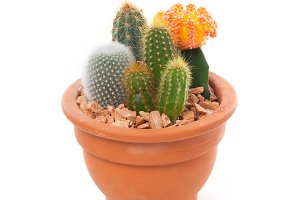 Cactus in a pot isolated on white