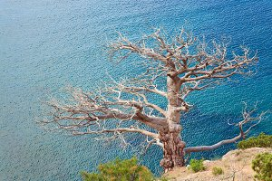Withered juniper tree and sea