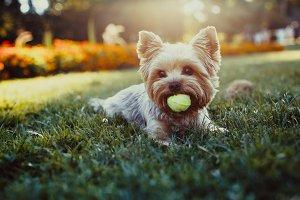 Beautiful yorkshire terrier dog