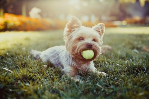 Beautiful yorkshire terrier dog
