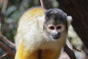 Black-capped squirrel monkey (Saimiri boliviensis)