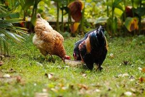 farm animals eating