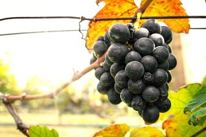 Black Grapes and vineyards