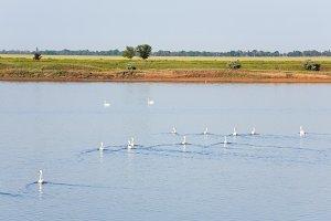 White swan flock on lake