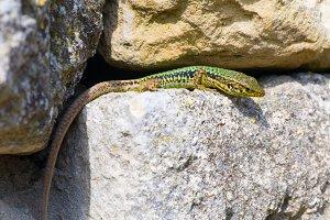 green little lizard