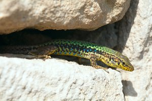 green little lizard