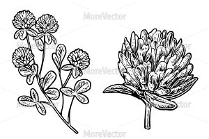 Branch of clover. Vector engraving