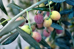 ripening olives on the branch