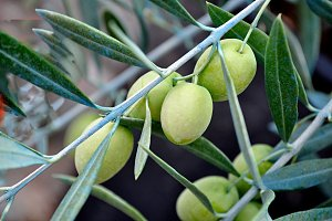 green olives on branch