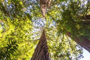 California redwood (Sequoia sempervirens)