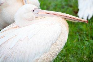 white pelikan