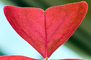 Fragment of red window plant leaf