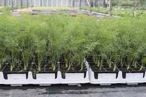Dill in pots in greenhouse