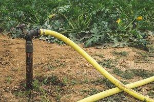 Watering zucchini.