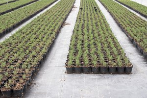 Thyme in pots in spices farm