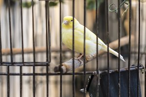 Yellow bird in a cage.