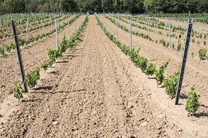 Young vines in rows