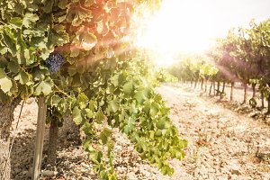 Vineyards on sunset.