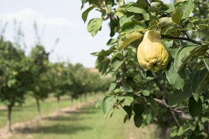 Quince orchard