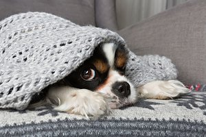 Dog under the blanket