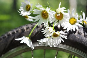 Chamomile on a bicycle wheel