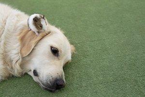 Dog breed Golden Retriever