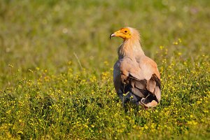 Egyptian vulture.