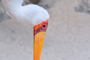 Mycteria ibis.