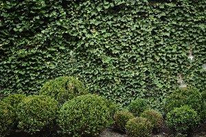 Ivy Wall 2