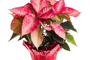 Pink poinsettia isolated on white
