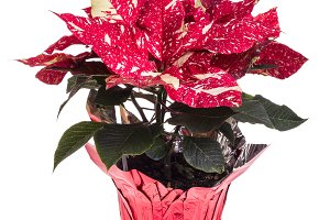 Red and white poinsettia flower