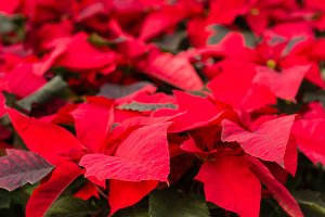Poinsettia flowers with bright bract