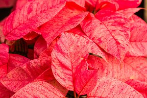 Pink poinsetia bracts