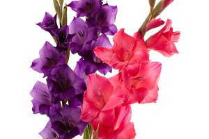 Pink and purple gladiolus isolated