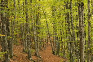 The principle Beech Forest Fall