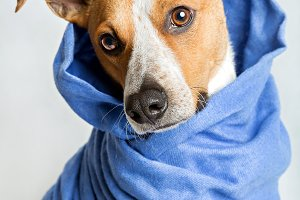 Dog in a blue scarf