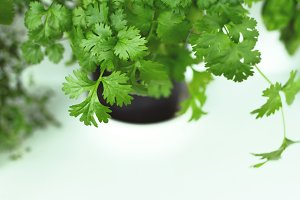 Fresh coriander herb in a pot